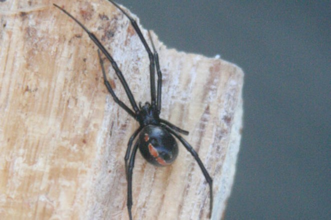 Adult male Black Widow. - JIM ANDERSON