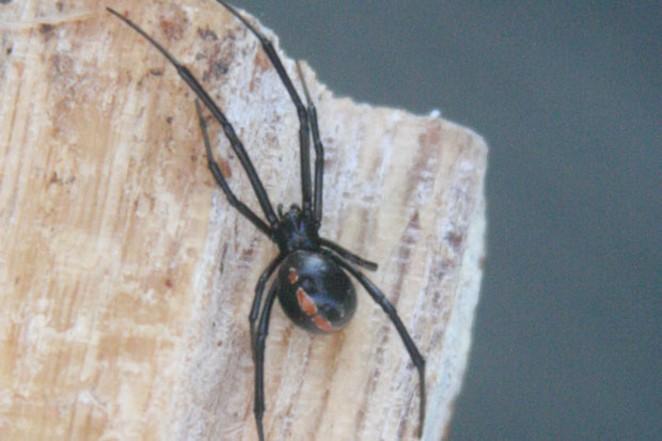 Adult male Black Widow. - JIM ANDERSON