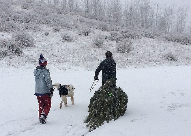 Dragging the tree out of the forest: just one part of this holiday tradition. - WIKIMEDIA COMMONS