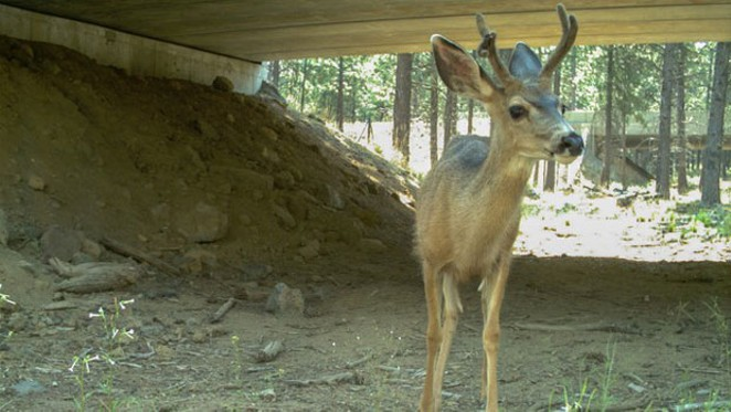 Deer cross under one of the new dedicated wildlife crossings, aimed at reducing collisions between wildlife and vehicles. - ODOT