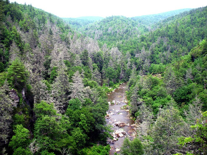 Trees known as gray ghosts are a common sight in the southern Appalachians. A hemlock woolly adegid infestation has killed many hemlock trees in the Linville Gorge area of Pisgah National Forest in North Carolina. - FLICKR/U.S. FOREST SERVICE STEVE NORMAN.