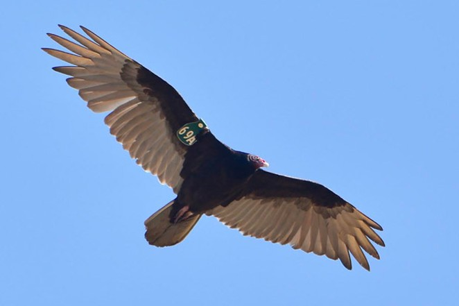 An adult turkey vulture wearing a patagial wing marker. - TIM KADLECECK