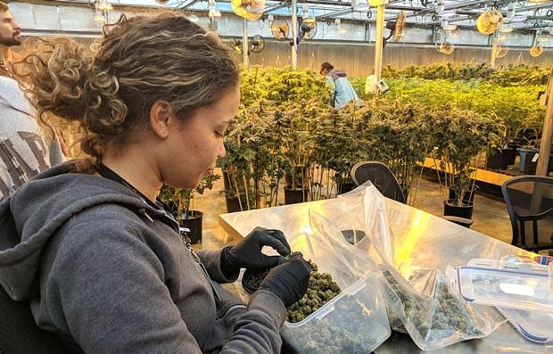 A Quarter-Million Legal Weed Jobs