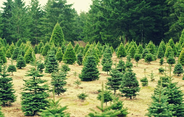 Oregon's Tree Dilemma