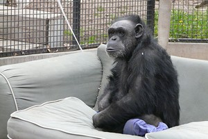 Chimp Controversy