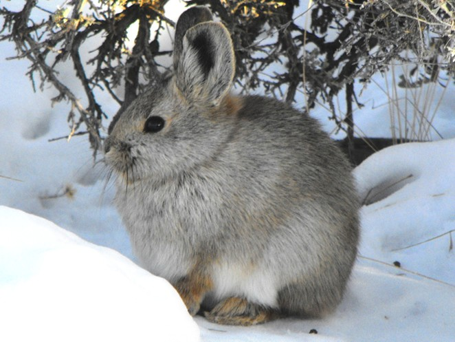 january_nhp._pygmy_rabbit_brachylagus_idahoensis._photo_by_.jpg
