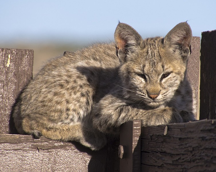 A bobcat kitten, similar to this one, was recently bludgeoned to death in Eugene. - PIXABAY