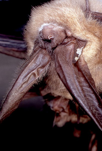 The Townsend's big-eared bat, among several species of bats found in Oregon. - JIM ANDERSON