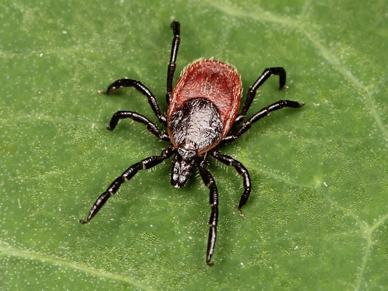 Black legged tick. - SUBMITTED