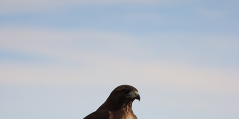 A red-tailed hawk pauses atop a sign during its fall migration.