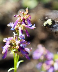 A native Oregon bumblebee inspects a wildflower at the Sunriver Nature Center's garden.