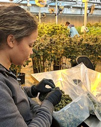 A professional bud trimmer prepares a harvest of cannabis for retail distribution.