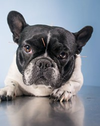 Acupuncture For Dogs?