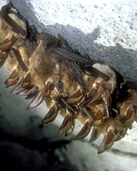 A family of Townsend's big-eared bats.