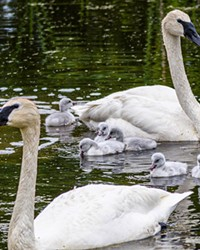 Trumpeter swans, Eloise and Pete, and their 6 cygnets produced this nesting season at the Aspen Lakes Community.