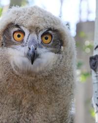 She's big and bold! The new Sunriver Nature Center's ambassador, a female Eurasian Eagle-owl.