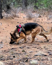 DCSO SAR K9 Hunter is a five-year-old German shepherd nationally certified in both land HRD (human remains detection) and live-area search.