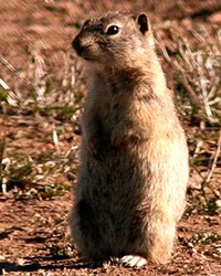 The Belding's Ground Squirrel, whose fleas can carry the bubonic plague.