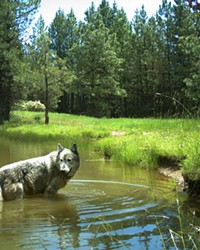 As efforts are underway to erodes their protection, gray wolves had best watch their backs.
