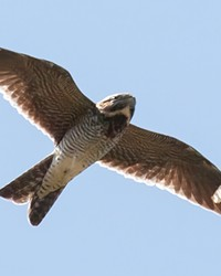 White wing patches and a long wingspan are identifiers of the common nighthawk.