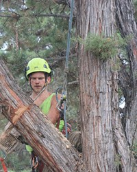Wood chips fly off the chainsaw as an arborist cuts a large branch.