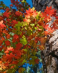 Bright red leaves of the vine maple are a calling card of fall.