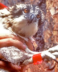 The author's son, Ross, holding a young osprey banded with a U.S. federal band and color band used in an effort to recognize individual osprey. Inset: The author atop a tree banding osprey.