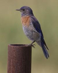 Zoom in on beautiful birds like the Western Bluebird at Sunriver's Bird Walks.