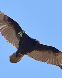 An adult turkey vulture wearing a patagial wing marker.