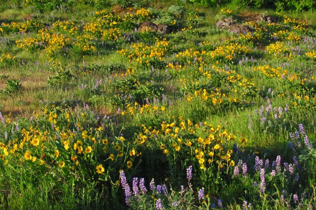 The sunrise lights up wildflowers at Rowena Crest in the Columbia River Gorge. - FLICKER.COM/JEFF HOLLETT