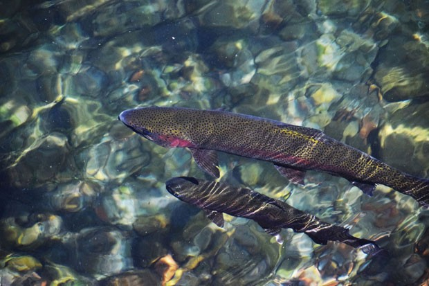 Visitors to the Wizard Falls Fish Hatchery can find a plethora of these sleek swimmers lurking beneath the surface. - ISAAC BIEHL