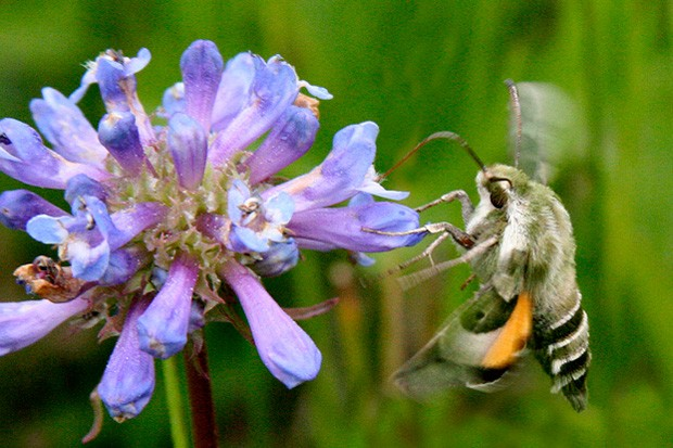 Above, at right, is the Clear-wing hummingbird moth, aka Hawk moth, aka Sphinx moth. - JANELLE ORSILLO