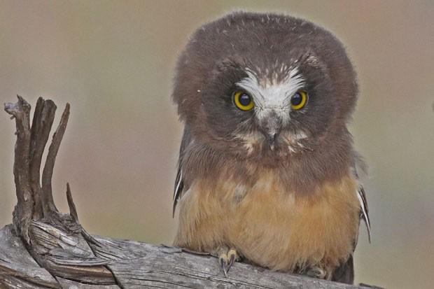 Yep, that's a Northern Saw-whet Owl teenager. - KEN HASHAGAN