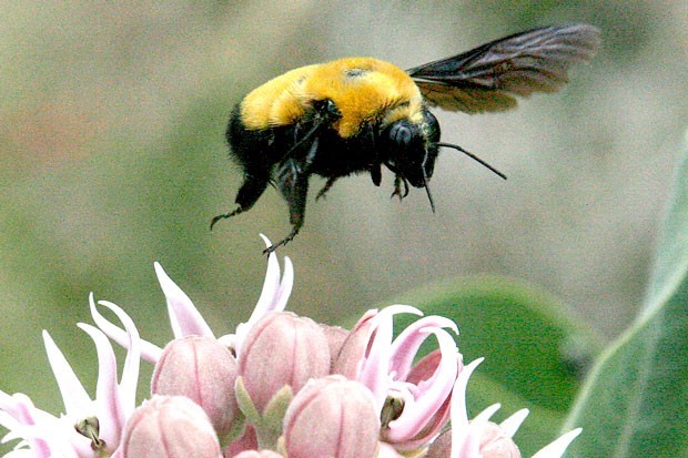 This is not the Asian Wasp; it is one of our 30 species of treasured native bumble bees! Please treat our native bees kindly and get to know them. - JIM ANDERSON