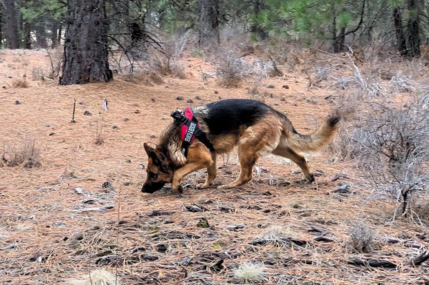 DCSO SAR K9 Hunter is a five-year-old German shepherd nationally certified in both land HRD (human remains detection) and live-area search. - JENNY REINDEL