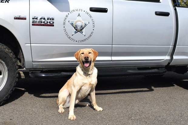 Three-year-old Labrador retriever Buck is the first and only Oregon State Patrol Fish & Wildlife Conservation K-9 - OREGON STATE POLICE