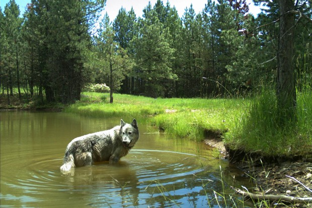 As efforts are underway to erodes their protection, gray wolves had best watch their backs. - COURTESY ODFW