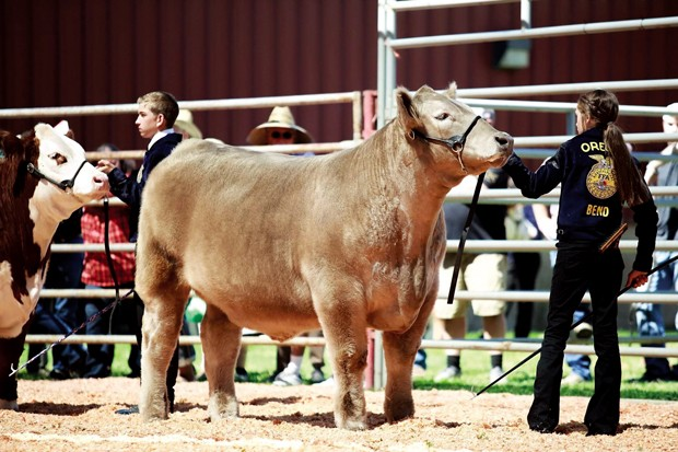 Olivia and her market steer, Phoenyx, show-ring exhibiting at the 2019 Deschutes County Fair. - MAKAYLA KAY-MARIE PHOTOGRAPHY