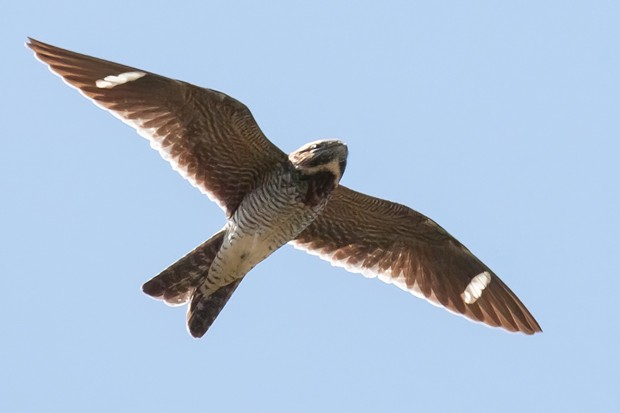 White wing patches and a long wingspan are identifiers of the common nighthawk. - JOHN WILLIAMS