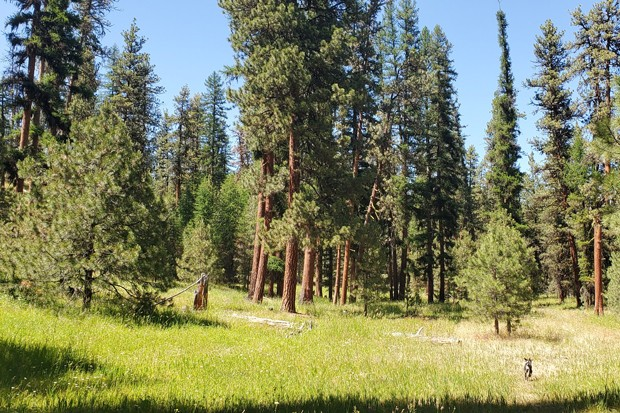 An out of court settlement blocked logging in areas that are crucial to Rocky Mountain Elk and Redband Trout. - COURTESY OREGON WILD