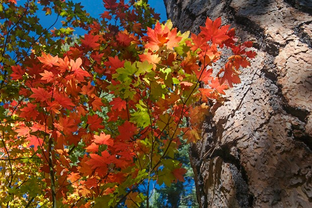 Bright red leaves of the vine maple are a calling card of fall. - PHOTO: JAY MATHER/DESCHUTES LAND TRUST.