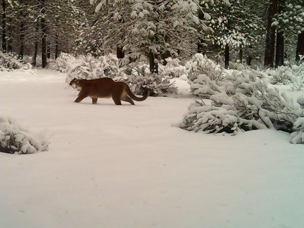 Two cougars captured on a trail camera near Redmond - CHRIS HENRY, REDMOND