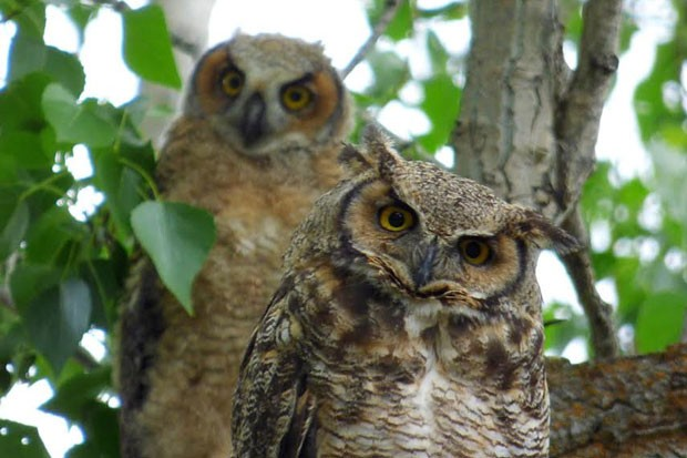 A great horned owl mom and her nestling. - LOLA KNOX