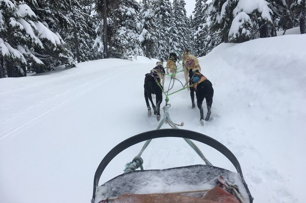A musher tends to the dogs before starting off on a run. - K.M. COLLINS