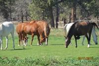 Nibbling horses on Long Hollow Ranch.