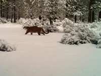 Sourcecast Audio:  Oregon's growing population of cougars