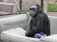 Chimp Controversy