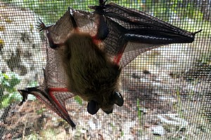 Virtual Lecture: Bats of the Pacific Northwest