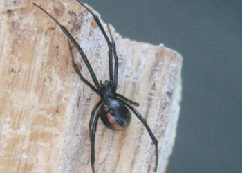 The Black Widow's Sister Arrives