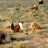 It's Sage-Grouse Hunting Season